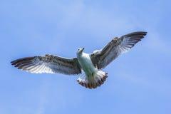 在天空打开的鸥翼 免版税库存图片