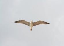 在天空的一只海鸥 免版税库存照片