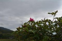 在天空的一朵玫瑰 免版税库存图片