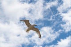 在天空的一次海鸥飞行 图库摄影