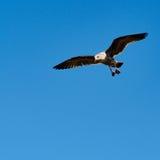 在天空的一次海鸥飞行 免版税库存图片