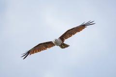 在天空的一次海鹰飞行 库存图片