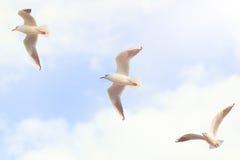 在天空的三只大海鸥与云彩和明亮的太阳 免版税库存照片