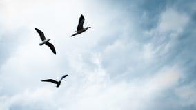 在天空的三只海鸥 库存图片