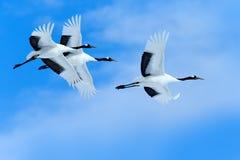 在天空的三只鸟 飞行的白色鸟红加冠了起重机,粗碎屑japonensis,与开放翼,与白色云彩的天空蔚蓝 免版税库存图片