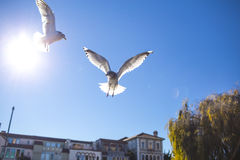 在天空的两只鸟飞行 库存图片