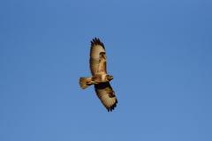 在天空的共同的肉食飞行 免版税库存图片