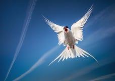 在天空的北极燕鸥飞行 库存照片