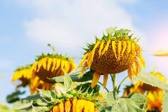 在天空的向日葵耷拉 图库摄影