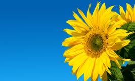 在天空的向日葵 免版税库存照片