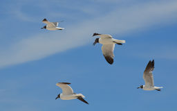 在天空的四只飞行的黑白海鸥 库存照片