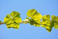 在天空的夏南瓜叶子 库存图片