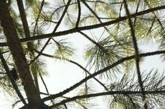 在天空的构成针叶树 免版税图库摄影