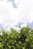 在天空的柠檬树 免版税库存照片