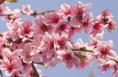 在天空的桃子花 免版税图库摄影
