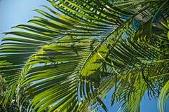 在天空的棕榈叶 库存图片