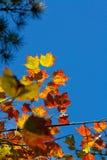 在天空的槭树叶子 免版税库存图片