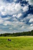 在天空的母牛严重的草甸 免版税图库摄影