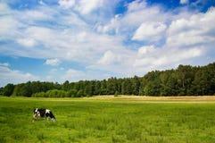 在天空的母牛严重的草甸 免版税库存照片