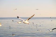 在天空的海鸥飞行在日落时间 免版税库存图片