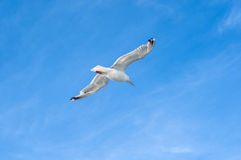 在天空的海鸥飞行 库存照片