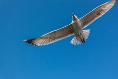 在天空的海鸥 免版税库存图片