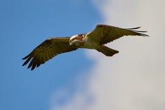 在天空的狩猎白鹭的羽毛 库存照片