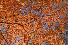 在天空的红色叶子 库存图片