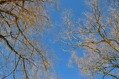 在天空的结构树 库存照片