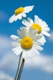 在天空的背景的三朵雏菊 库存图片