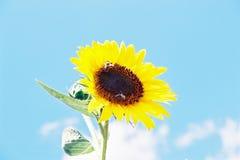 在天空的背景的向日葵 免版税图库摄影