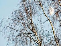 在天空的背景的桦树与月亮的 免版税库存照片