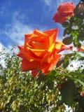 在天空的背景的红色玫瑰 库存照片