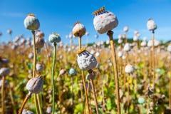 在天空的背景的罂粟种子胶囊 库存图片
