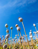 在天空的背景的罂粟种子胶囊 免版税库存照片