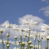 在天空的背景的雏菊 免版税库存图片
