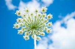 在天空的背景的Hogweed开花 免版税库存照片