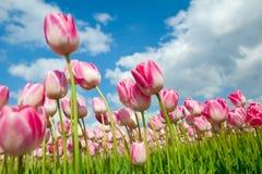 在天空的许多美丽的桃红色郁金香 库存图片