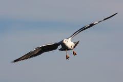 在天空的飞行海鸥 库存图片