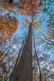 在天空的高大的树木 图库摄影