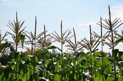 在天空的高玉米在佛蒙特 图库摄影
