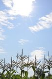 在天空的高玉米 图库摄影
