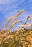 在天空的麦子和云彩的耳朵在领域的 库存图片