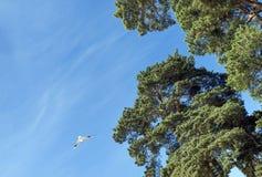 在天空的1次海鸥飞行,杉树,波罗地的本质 免版税库存图片