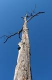 在天空的死的树 库存图片