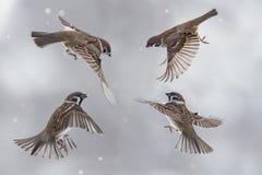 在天空的麻雀在暴风雪 库存照片