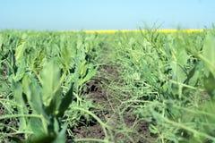 在天空背景交错年轻豌豆的领域 库存图片