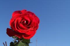 在天空背景的一朵猩红色玫瑰 免版税库存图片