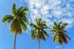 在天空背景的三棵棕榈 免版税库存照片
