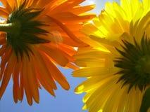在天空背景的两朵五颜六色的花在宏观看法 库存图片